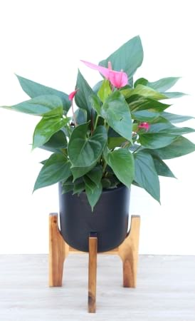 Antherium Indoor plant
